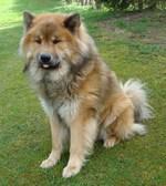 Красивая собака евразиер