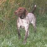 Красивая собака курцхаар