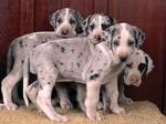 Красивые щенки немецкого дога
