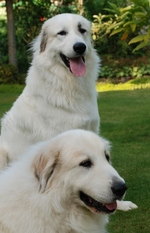 Красивые пиренейские горные собаки