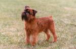 Красивые малые бельгийские собаки