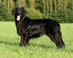 Красивая собака ховаварт
