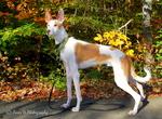 Красивая ивисская собака