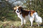Красивая собака коикерхондье