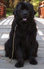 Красивая московская водяная собака