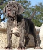 Красивый щенок неаполитанского мастифа