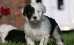Прекрасный щенок бобтейла