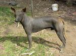 Красивая перуанская голая собака