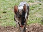 Красивая волчья собака Сарлоса