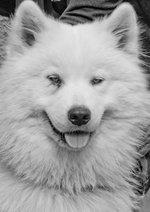 Красивая самоедская собака