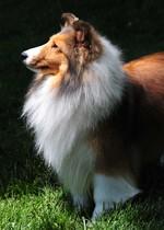 Симпатичная собака шелти