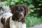 Красивая собака веттерхун