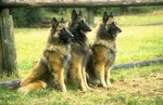 Три бельгийские овчарки Тервюрен