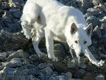 Белая швейцарская овчарка на скалах
