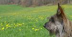 Пикардийская овчарка и поле цветов
