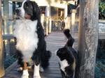 Бернский зенненхунд и кошка