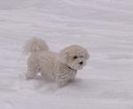 Собака бишон фризе на снегу