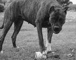 Черно-белое фото собаки алано