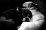 Черно-белое фото американского бульнеза
