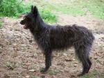 Черная собака арденский бувье