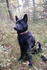 Черная норвежская лосиная лайка в лесу