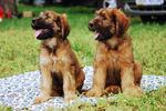 Черная и рыжевато-коричневая собака бриар