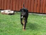 Черная собака тоса-ину