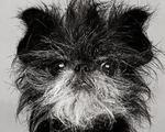 Черно-белое фото аффенпинчера