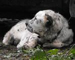Черно-белое фото среднеазиатской овчарки
