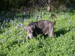 Собака блю-лейси и цветы