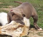 Собака блю-лейси на охоте