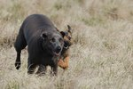 Собака блю-лейси бежит с другом