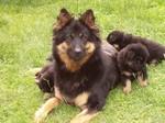 Чешская пастушья собака и ее щенки