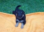 Чешская пастушья собака на одеяле