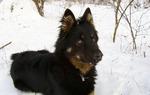 Чешская пастушья собака - зимнее фото