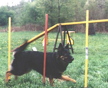 Чешская пастушья собака фото