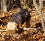 Боснийская грубошерстная гончая в лесу
