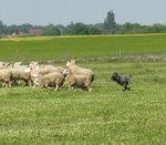 Арденский бувье и овцы