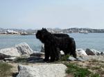Собака фландрский бувье в порту