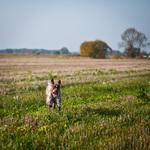 Французский бракк в поле