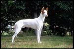Бело-коричневая ивисская собака