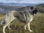 Буковинская овчарка в горах