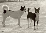 Черно-белая ханаанская собака