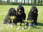 Португальские овчарки с наградами