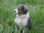 Румынская карпатская овчарка на траве