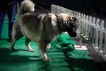 Кавказская овчарка на выставке собак