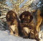 Зимнее фото кавказских овчарок