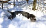 Чешский фоусек в снегу
