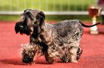 Чешский терьер идущий на выставке собак