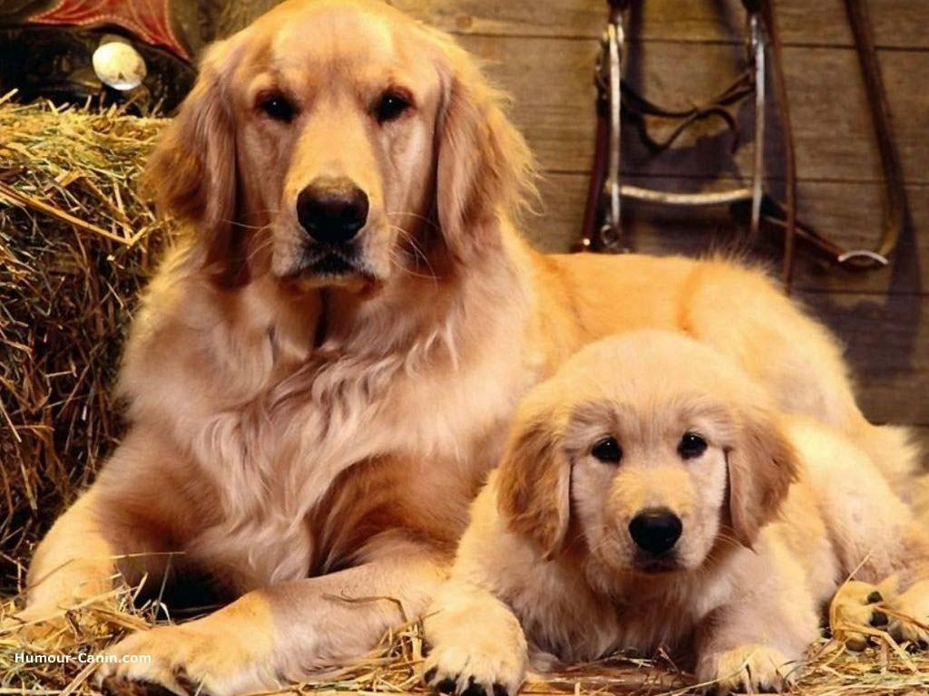 Собака Святого Людовика фото